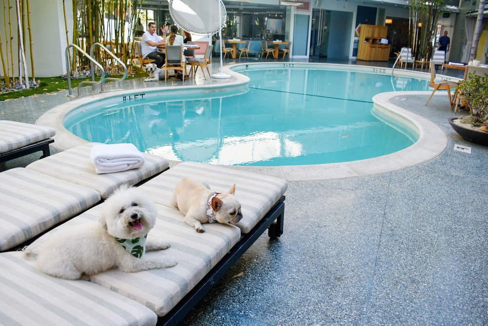 Watson and Fira of WTFrenchie at the pool Avalon Hotel Beverly Hills | Watson & Walls