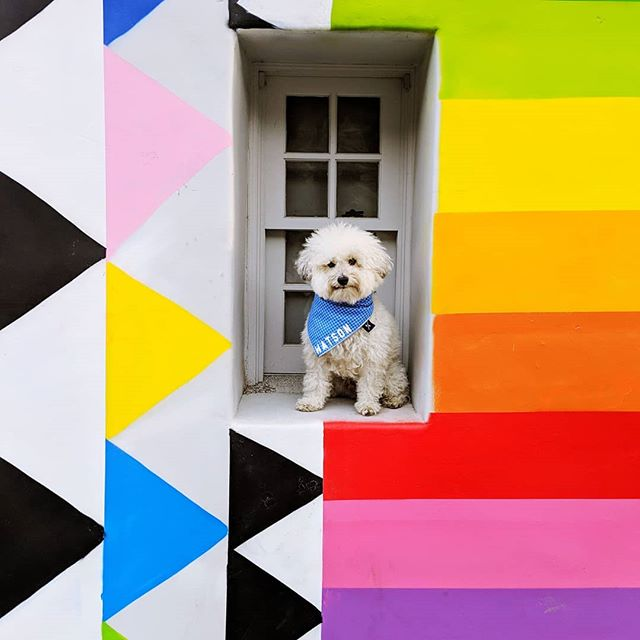 Started from the bottom now we're here 💁♂️. Hope everyone's 2019 is off to a bright & colorful start! 🌈🌈 . . . . . #raimbowwall #rainbowstripes #walltraveled #woofandwalls #technicolor #weeklyfluff #dogsoflosangeles #fluffybutt #mydogiscutest #rainbowcolors #2019goals #newyearnewyou #dressedtomatch #acolorstory #candyminimal #ihavethisthingwithwalls