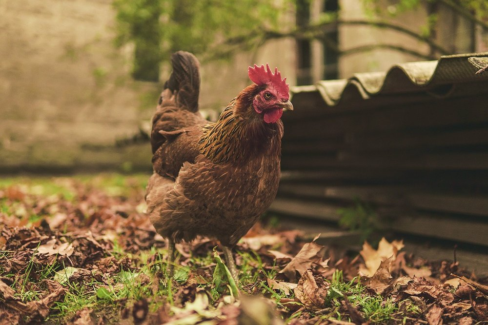 This hen has stuff to do. Like you and me but from a hens perspective. She has to find food, lay eggs, sort out her chicks. But she's calm, chilled even. Let's be like her. Getting it done, without literally running between meetings. It's possible. Right?
