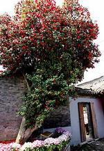 Sp. Camellia Japonica tree