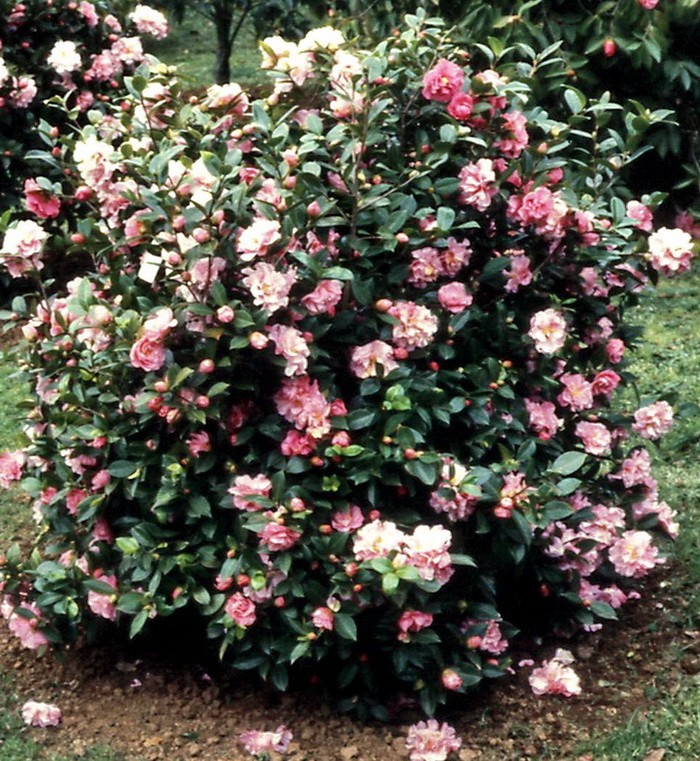 H. Fairy Bouquet bush