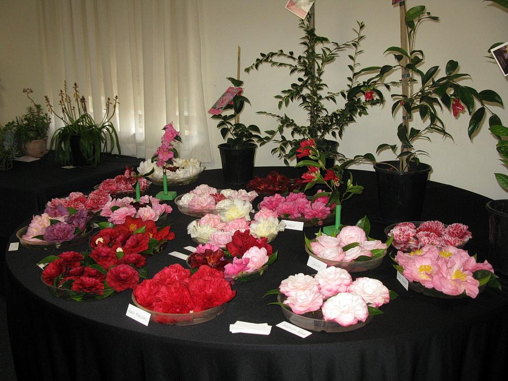 Camellia display at Camellia and Garden Show