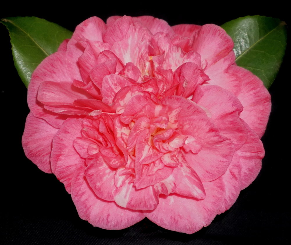 J. Carter's Sunburst Pink