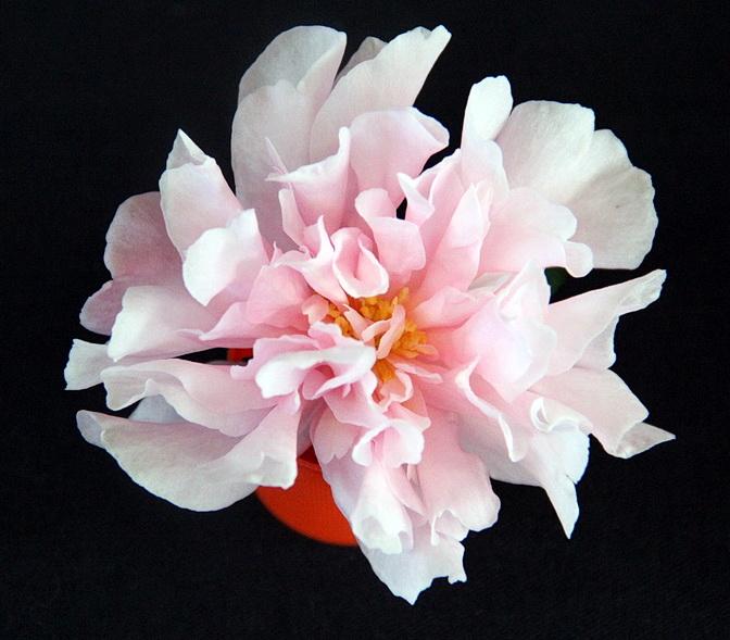 S. Paradise Petite Pink