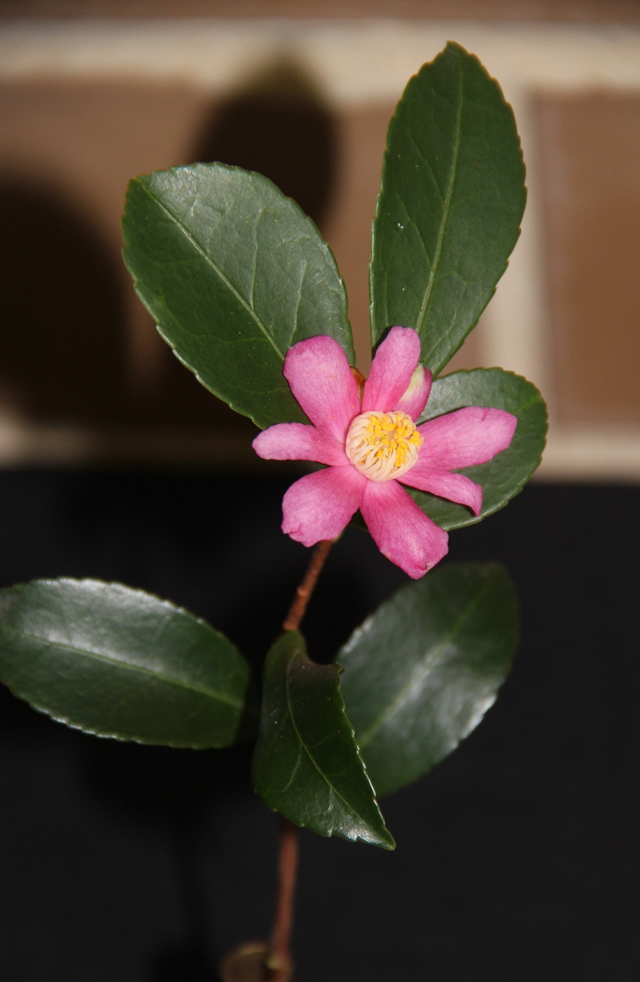 Sp. Puniceflora