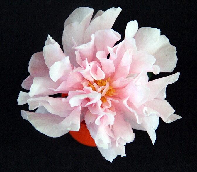 Petite Pink