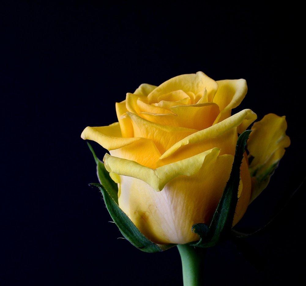 rose-bloom-320842_1280.jpg