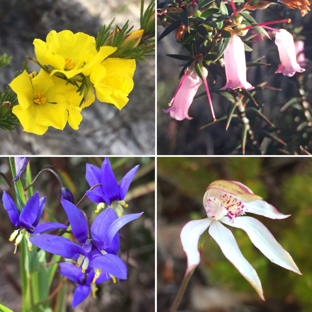 Wildflowers of the Grampians: Bundled Guinea Flower (Hibbertia fasciculata); Common Heath (Epacrus impressa); Nodding Blue Lily (Stypandra glauca); Musky Caladenia (Caladenia moschata)