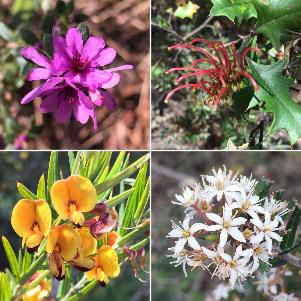 Wildflowers of the Grampians: Grampians Bauera (Bauera sessiliflora); Holly Grevillea (Grevillea aquifolium); Showy Bossiaea (Bossiaea cinerea); Truncate Leionema (Leionema bilobum)