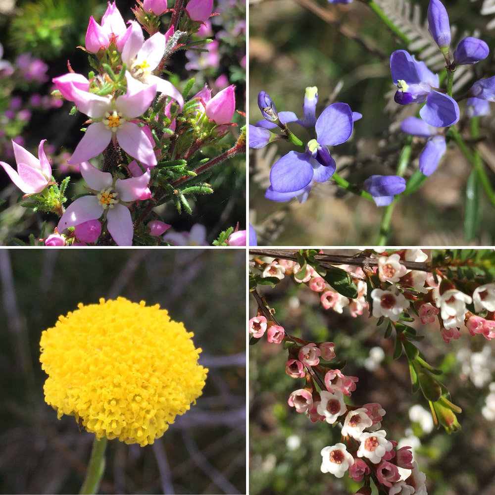 Wildflowers of the Grampians: Hairy Boronia (Boronia pilosa); Love Creeper (Comesperma volubile); Common Billy Button (Craspedia variabilis); Grampians Thryptomeme (Thryptomene calycina)