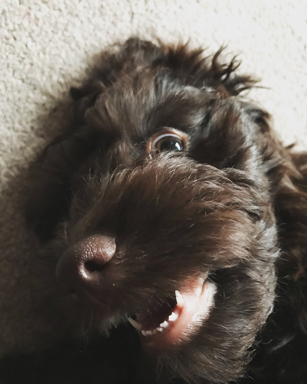 joffrey the dog cockapoo brown puppy
