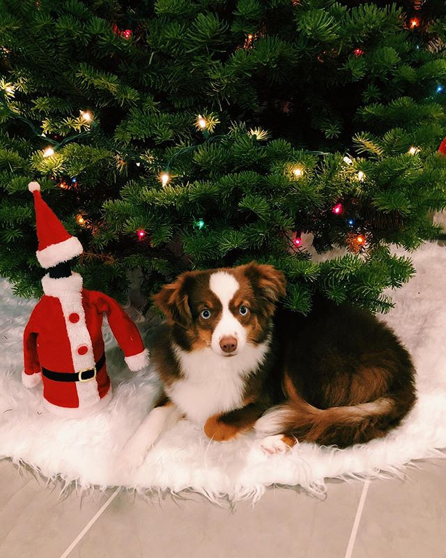 The best x-mas present we could ever ask for! @kuri_miniaussie 🥰♥️🐶