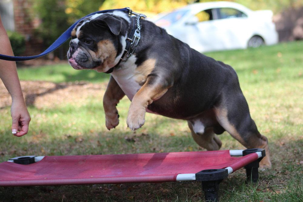 Pittsburgh, PA dog training old english bulldog