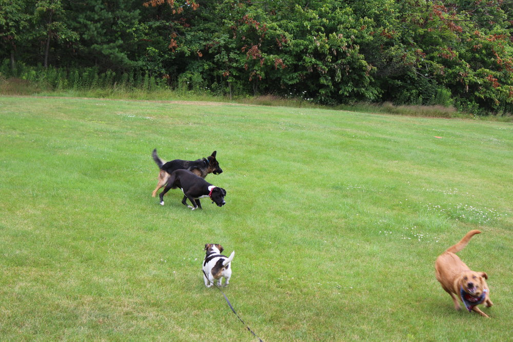 Pittsburgh, PA dog training pups playing