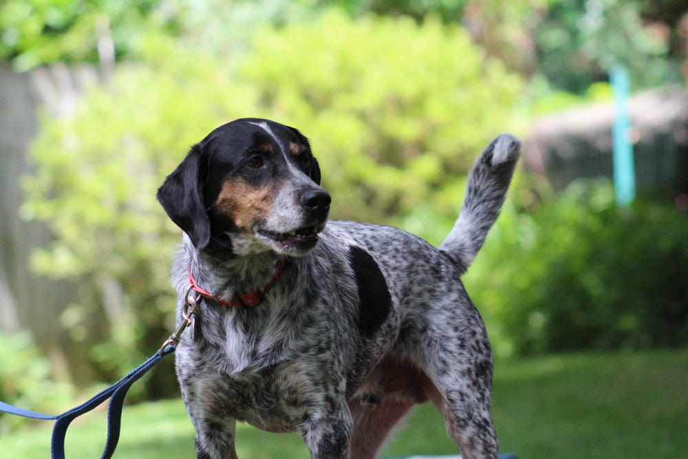 Pittsburgh, PA dog training german short haired pointer hound mix