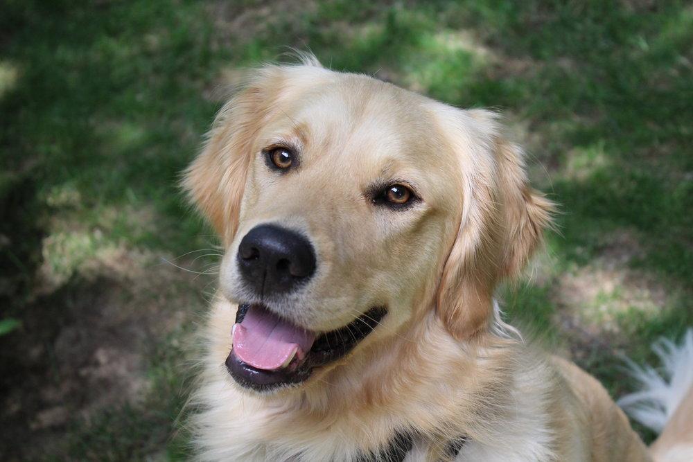 Pittsburgh, PA dog training golden retriever