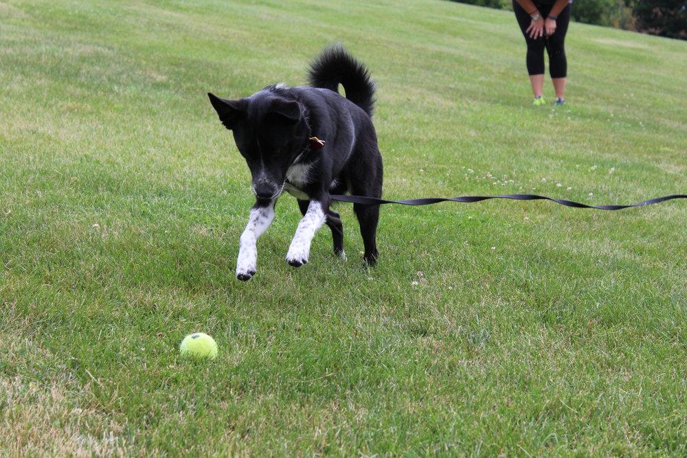 Pittsburgh, PA dog training border collar mix