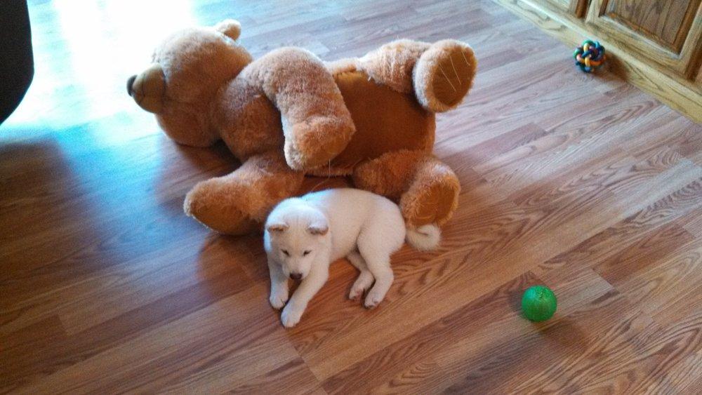 Pittsburgh, PA dog training Shiba inu puppy