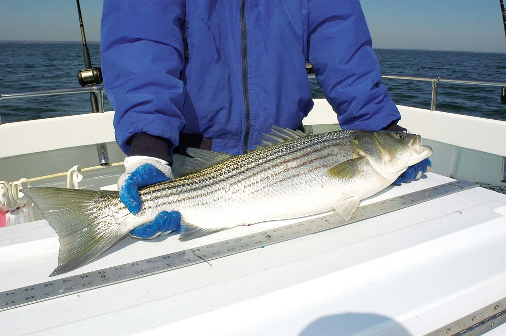 Stripers  - middle bay #3 - joe Evans.jpg