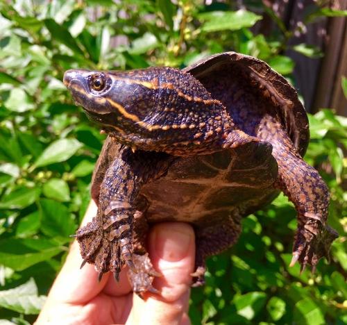 Common Musk Turtle/Terrapin Institute