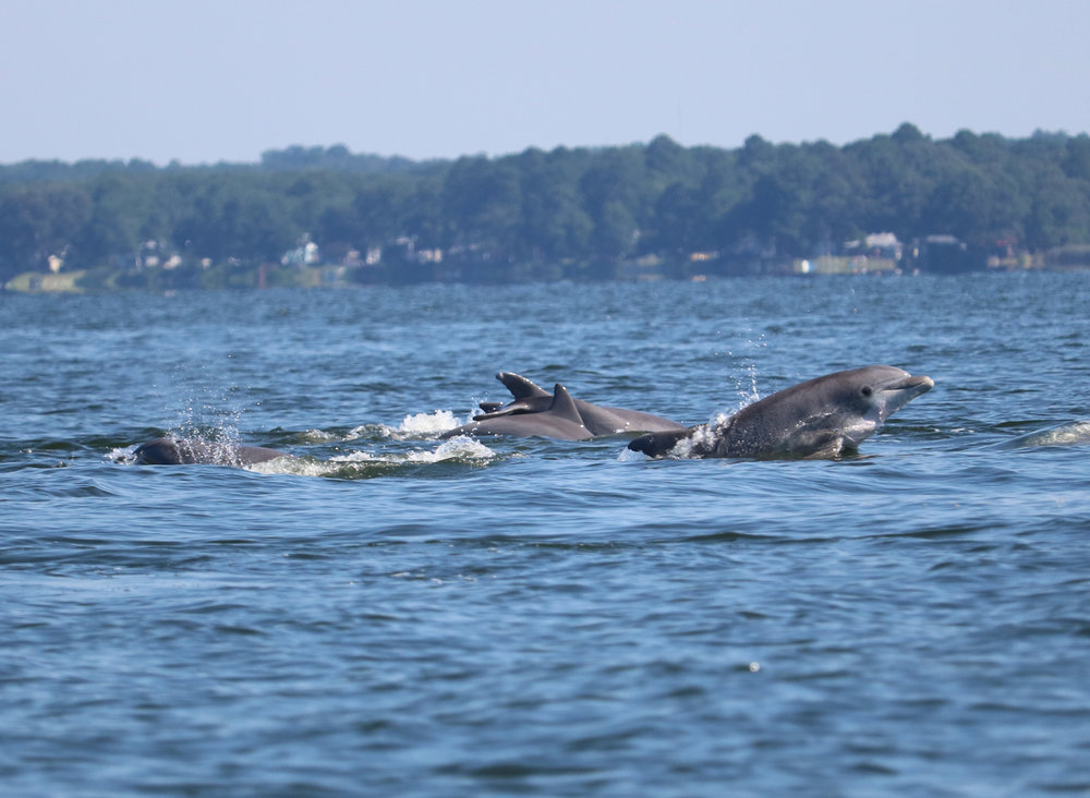Tania Richardson Remaly caught this group of dolphins off Ragged Point on the Little Choptank River
