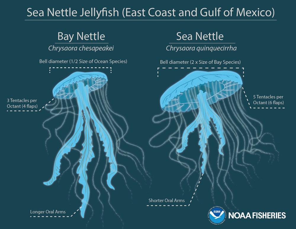 jellyfish species differences chart.jpg