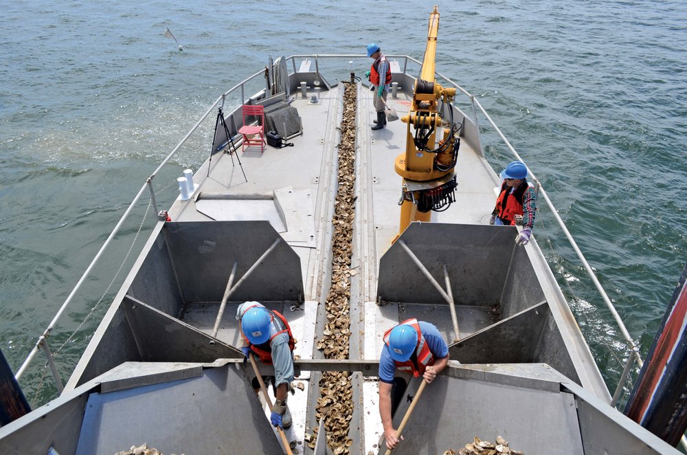 Crew shuffling oysters down the chute into the water. -  Photo by Emmy Nicklin/CBF Staff