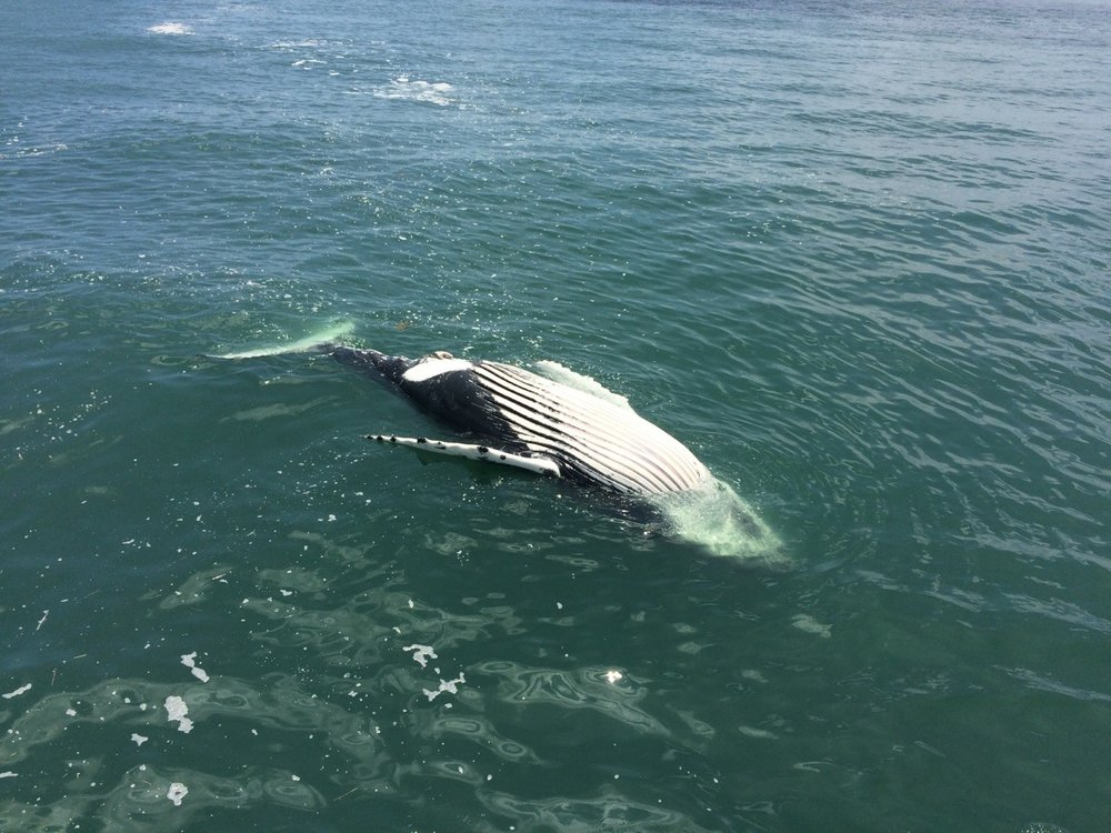 A humpback whale found floating in the 2016-2017 season                       Credit: Marine Education, Rehabilitation and Research Inst.