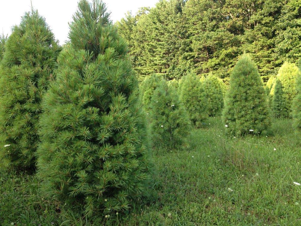 christmas tree farm cbf.jpg