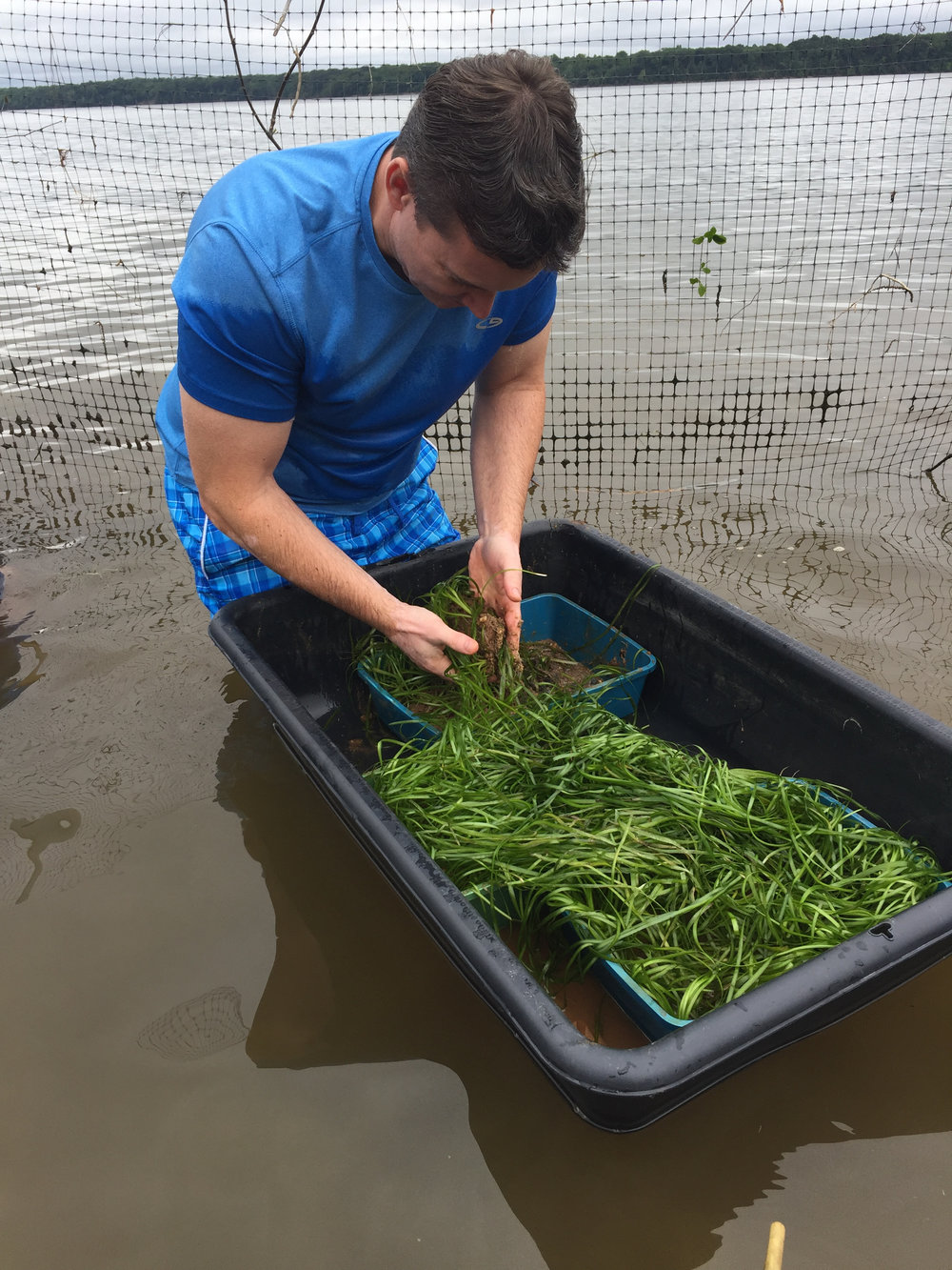 Grasses grown by volunteers are then planted in the water.    Photo: Blair Blanchette/CBF Staff