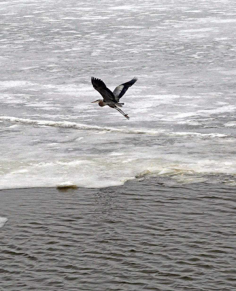 A blue Heron rises from an ice floe at the  Sandusky's  approach.  Photo by Wendy Mitman Clarke