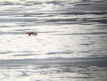 A fox on the ice on Mattox Creek, Potomac River, photo by Brett Anderson
