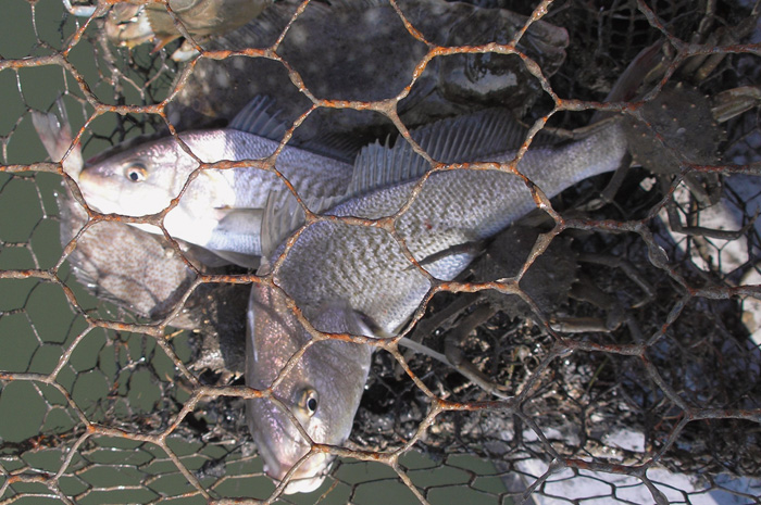 Fish like these Atlantic croaker, and other sea life, get trapped in derelict crab pots and die.