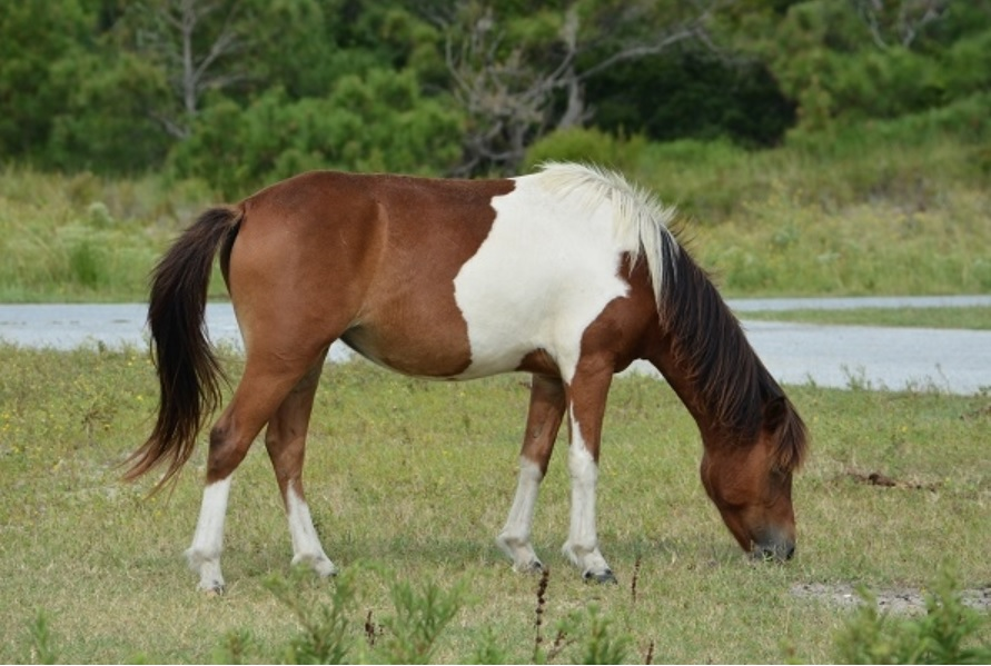 The pony known as Ms. Macky is pregnant. Photo: Assateague Island Alliance