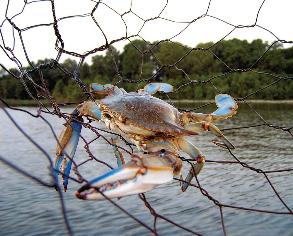 crab in trap close up.jpg
