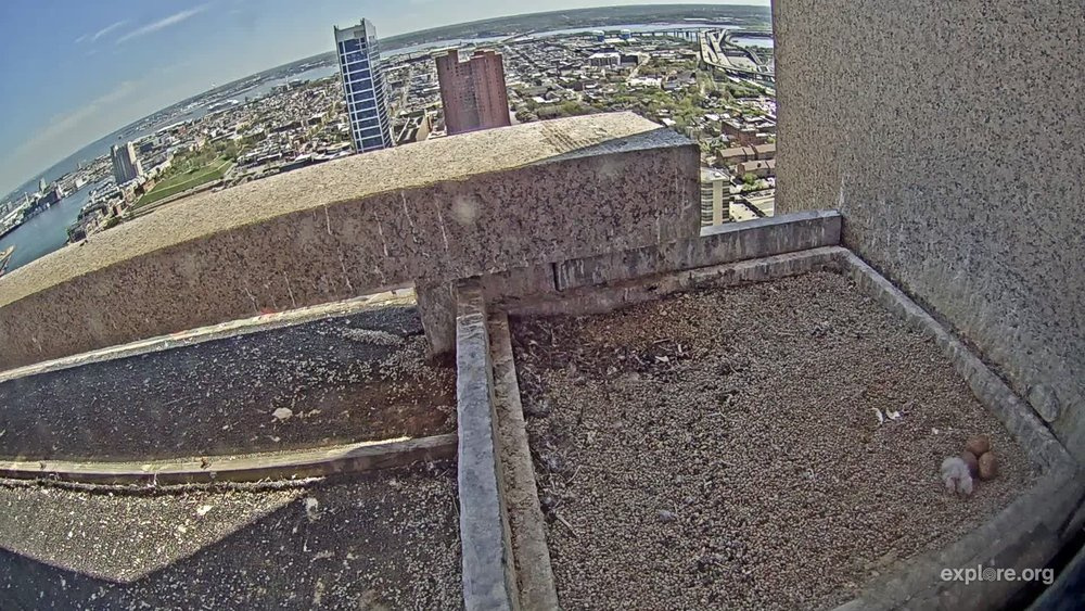 Video snapshot of a new falcon chick (bottom right) above downtown Baltimore. Photo: Explore.org