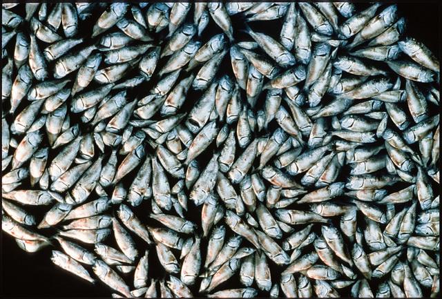 A menhaden fish kill. Photo: Chesapeake Bay Program