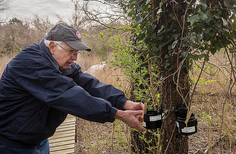 "Ted Suman, a retired entomologist volunteering at the Horn Point Laboratory, regularly collects ""ovicups"" placed around the Cambridge campus to secure a fresh batch of mosquito eggs for use in the experiment once they hatch into larvae. (Photo: Dave Harp)"