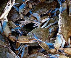 blue crab population closeup.jpg