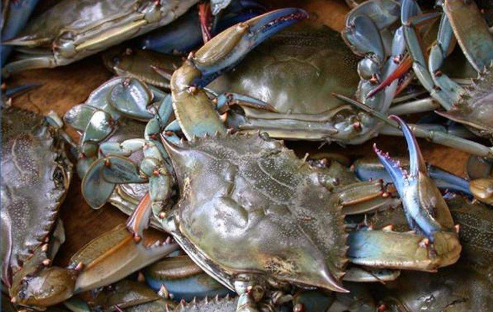 bay blue crabs close up oceana.jpg