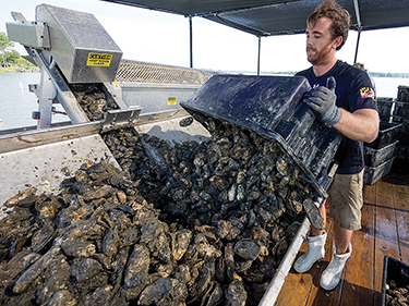 Patrick Hudson of True Chesapeake Oysters unloads some of the shellfish his company raises in cages on the bottom of St. Jerome Creek in St. Mary's County. MD. Photo: Dave Harp