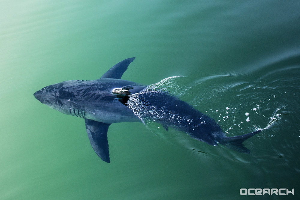 Miss Costa. Photo: OCEARCH