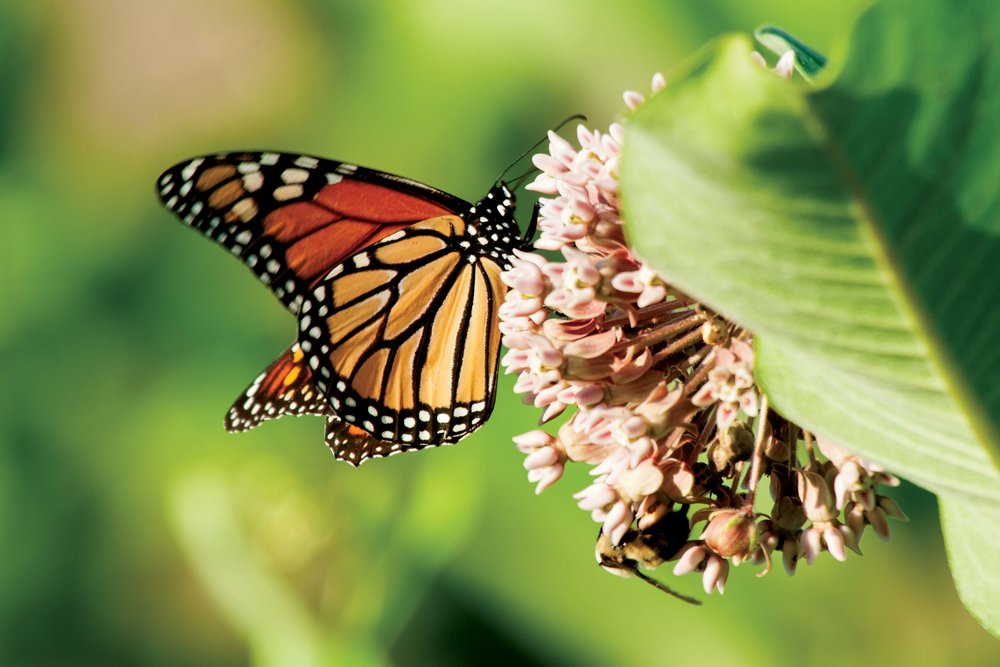 A monarch butterfly feeds on the nectar of a common milkweed plant at the Washington College River and Field Campus.