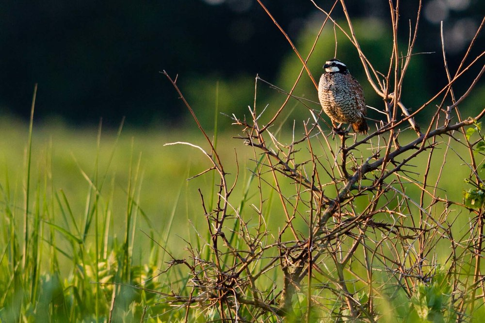 The northern bobwhite quail attracts attention to the restoration and provides an indicator of success.