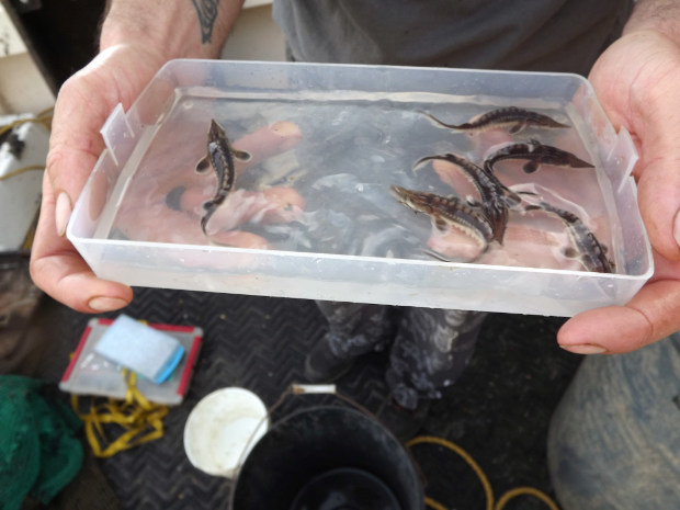 Sturgeon born in mid-September found during an Oct. 31 trawling survey by Rice Rivers Center researchers. (Photo: VCU Rice Rivers Center)