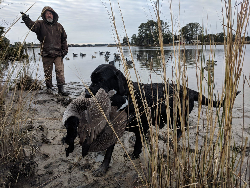 Hunter the black lab brings back a Canada goose to his hunting partner Rick Blackwell. (Photo courtesy Floyd Wooters)