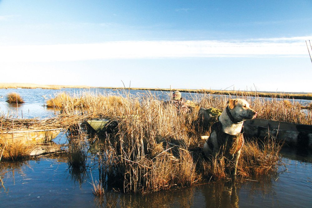 Merle, the author's second Chesapeake Bay Retriever