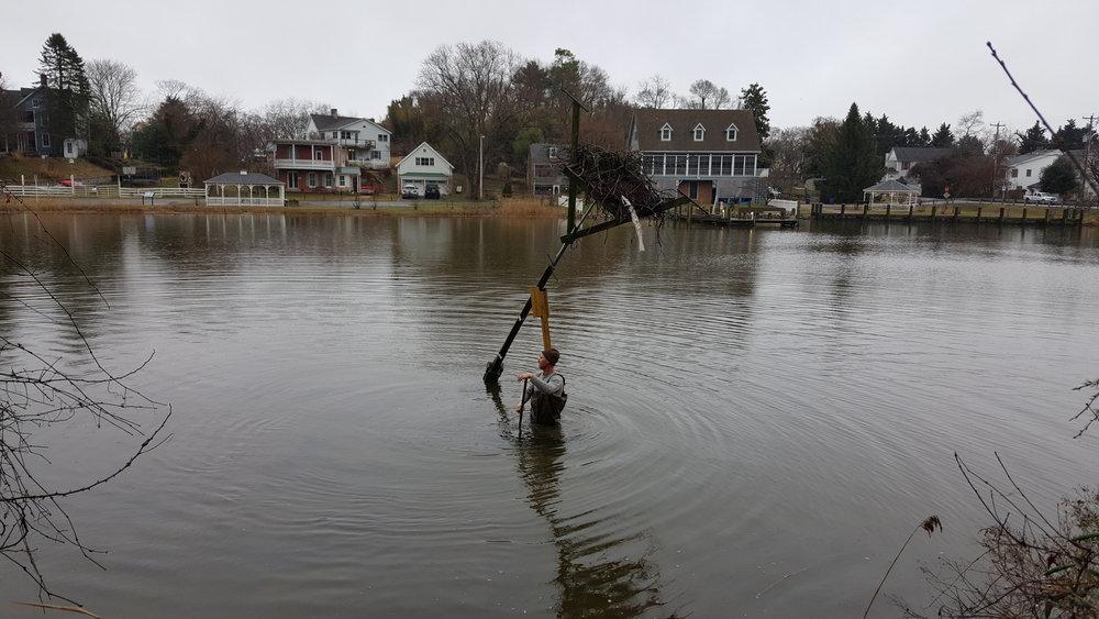 The osprey pair built their nest on this precarious pole. Photo courtesy of Chesapeake Wildlife Heritage