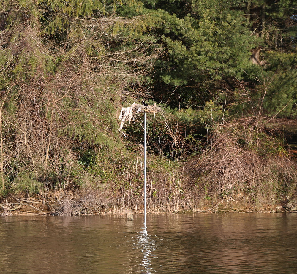 Thanks to concerned neighbors and Chesapeake Wildlife Heritage, the osprey couple has a nice, level platform. Photo: Wendy Mitman Clarke