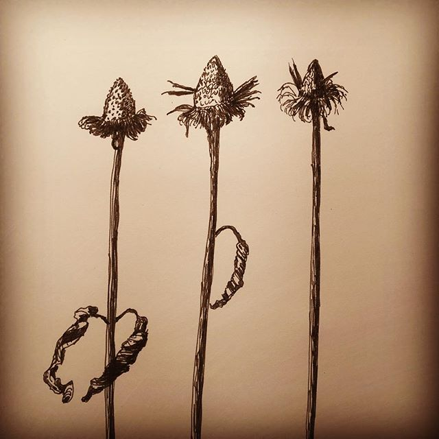 Echinacea in February #drawingoftheday #drawingaday #sketchbook #sketchbookskool #garden